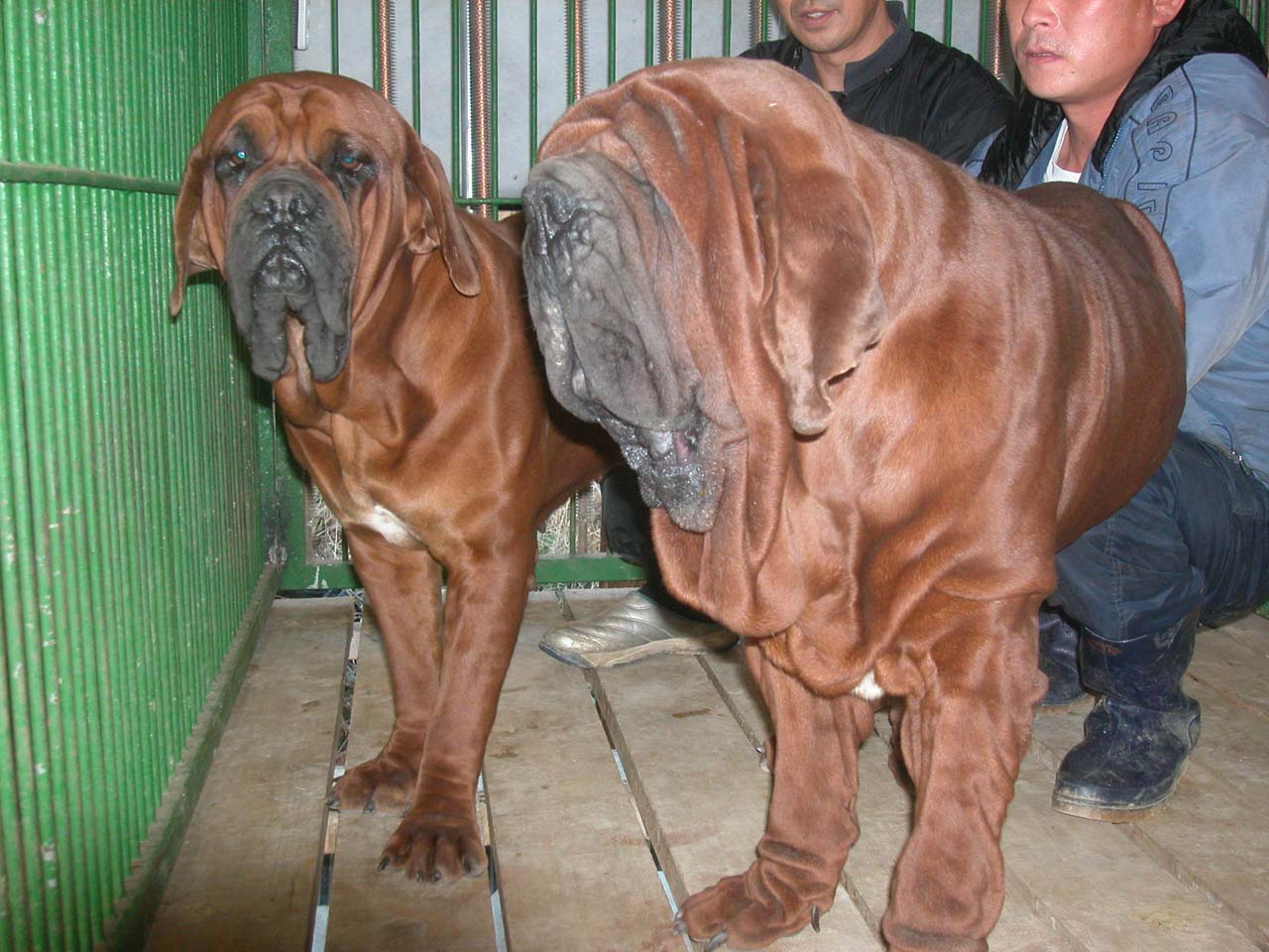 je suis écoeuré - Page 2 Korean_mastiff_dosa_dogs_puppies_breeders_kennels43