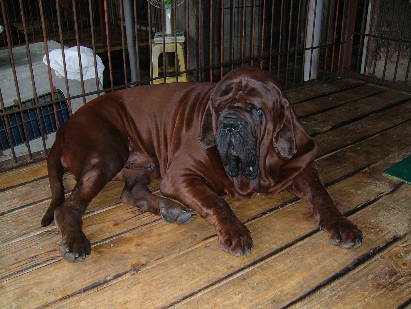 je suis écoeuré - Page 2 Korean_mastiff_dosa_dogs_puppies_breeders_kennels50
